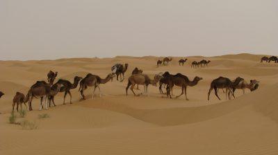 camels-2614827_1280